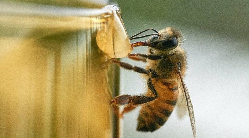 Explotación de abejas para leche de almendras ¿alternativa sostenible?